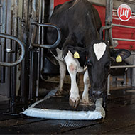 Cow using the MS AutoHoofClean